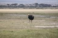 Stock Photo of AFRICAN OSTRICH