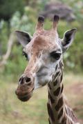 CLOSE UP AFRICAN GIRAFFE Kenya, Africa - stock photo