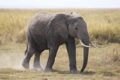 MIGRATING AFRICAN ELEPHANT Kenya, Africa - stock photo