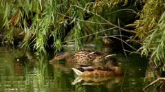 Mallards in the pond, closeup of wild ducks in their natural environment Stock Footage
