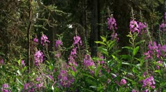 Sunlit Fireweed Blooms with Bees in Spruce Forest Stock Footage
