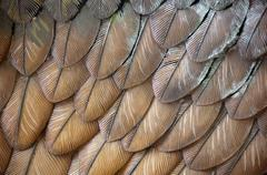 Stock Photo of eagle feathers
