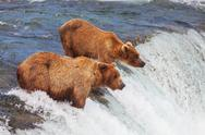 Stock Photo of bear on alaska