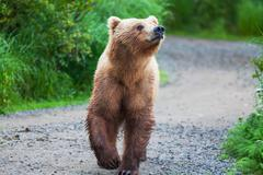 bear on alaska - stock photo