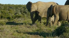 Baby elephant with family Stock Footage