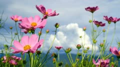 Cosmos in the wind with mountain in background. Stock Footage