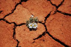 Flower in drought Stock Photos
