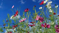 Cosmos flower with blue sky in the background. Stock Footage