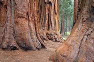 Sequoia forest in fog Stock Photos