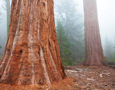 sequoia forest in fog - stock photo