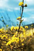 blossoming tree - stock photo