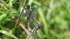 Little white-faced darter - mating Stock Footage