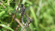 Stock Video Footage of Little white-faced darter - mating