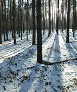 winter pine forest - stock photo