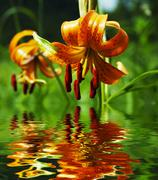 Orange lilly in forest Stock Photos