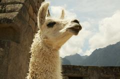 llama in the ruins lost city machu-picchu - stock photo