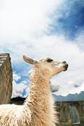 Llama peruvian in machu-picchu city Stock Photos