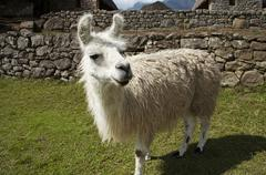 Stock Photo of white llama close ap in the peru