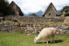 llama in the grassland in lost city machu-picchu - stock photo