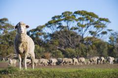 Merino sheep staring at the camera Stock Photos