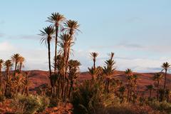 Päivämäärä palmuja marokossa, afrikassa Kuvituskuvat