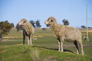 Stock Photo of two merino sheep in a paddock