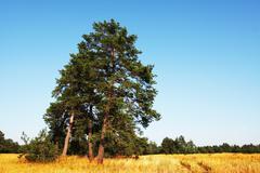pines - stock photo