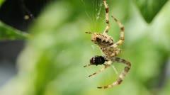 Garden spider, Araneus diadematus Stock Footage