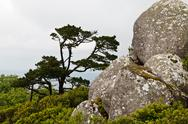Stock Photo of rocks and the tree in moorish castle near lisbon, portugal