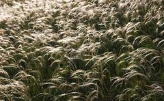grasses - stock photo