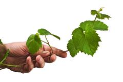 hand holding a green twig vine - stock photo