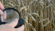 Agronomist with handglass looking wheat  ears Stock Footage