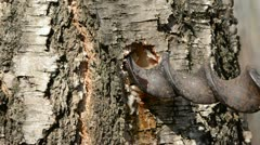 Hole in spring  birch trunk and  sap drops Stock Footage
