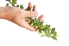 hand holds a branch of gooseberries - stock photo