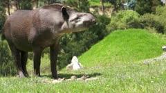 Tapir Browsing Mammal Similar to Pig - stock footage