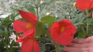 Stock Video Footage of Beautiful red flowers
