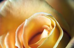Close up of a yellow rose Stock Photos