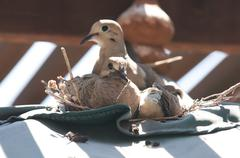 Dove sits on nest with chicks - stock photo