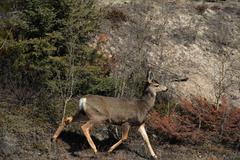 white tail deer - stock photo