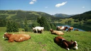 Cows in meadow Stock Footage