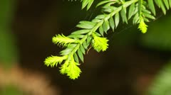Closeup of new growth on evergreen tree Stock Footage