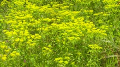 Closeup meadow of mustard plants Stock Footage