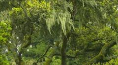 Spanish moss Stock Footage