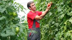 Organic Farmer Harvesting Tomatoes - stock photo