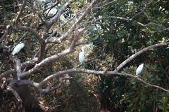 three white herons - stock photo