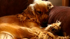 Dog sleeping, then wakes up, at home Stock Footage