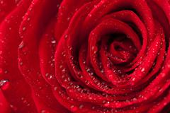 beautiful red rose with water droplets - stock photo