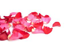 red and pink rose petals isolated - stock photo
