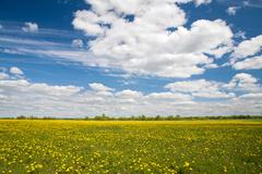 Field of dandelions and blue sky with clouds Stock Photos