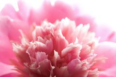 abstract pink peony flower isolated - stock photo